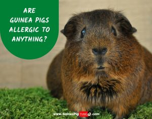Are Guinea Pigs Allergic To Anything_