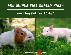 Are Guinea Pigs Really Pigs And Are They Related At All
