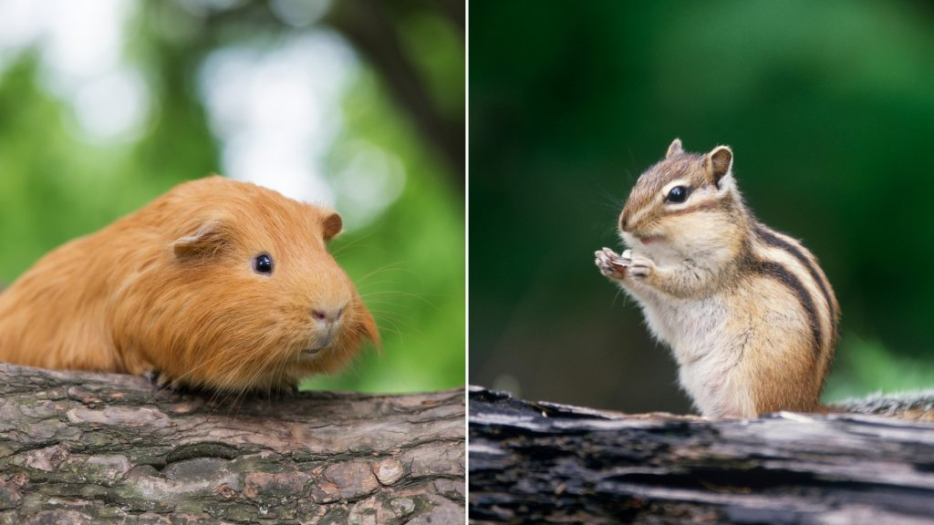 Are Guinea Pigs Related to Chipmunks