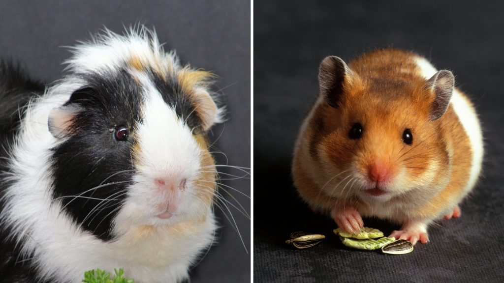 Are Guinea Pigs Related to Hamsters