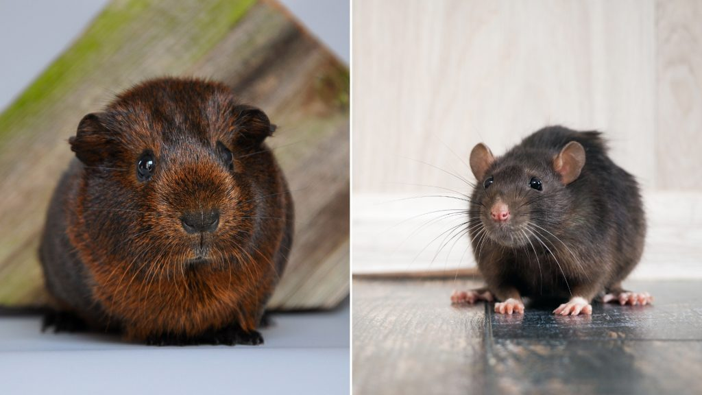 Are Guinea Pigs Related to Rats