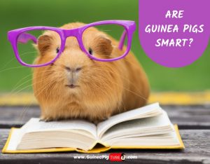 Are Guinea Pigs Smart