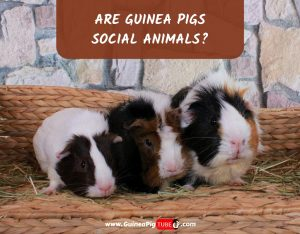Are Guinea Pigs Social_