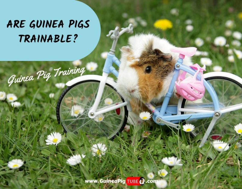 Are Guinea Pigs Trainable_