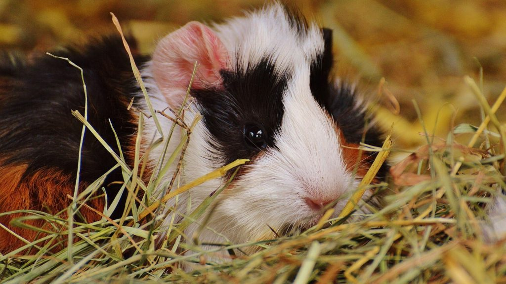 Conditions Caused By Allergic Reaction in Guinea Pigs