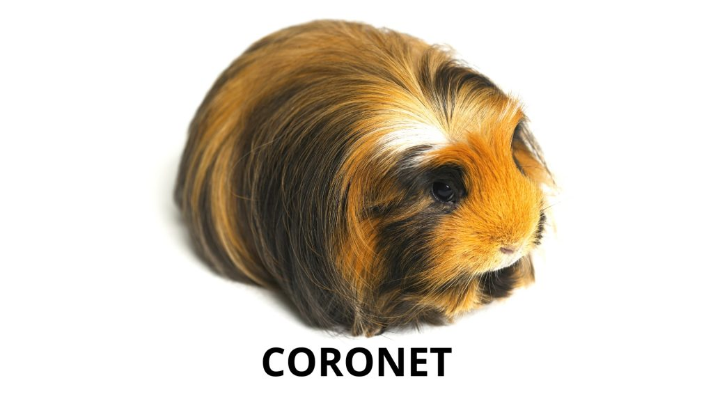Coronet Long Haired Guinea Pig