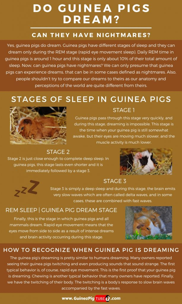 Do Guinea Pigs Dream and Can They Have Nightmares_1