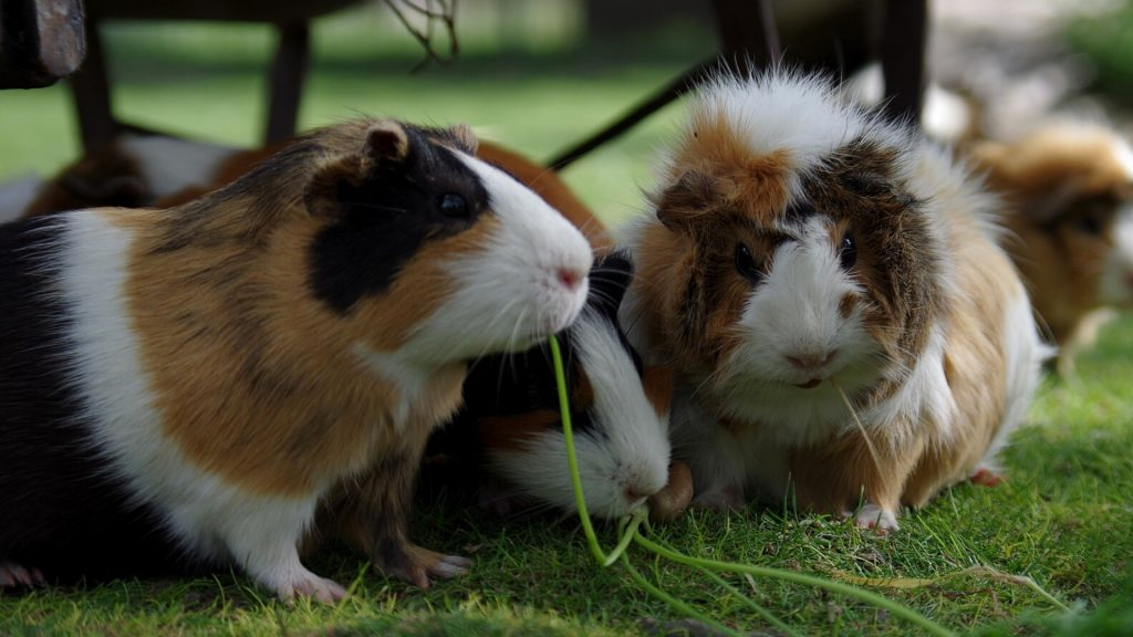 Guinea Pig's Social Life Do Not Expect Much of Their Attention