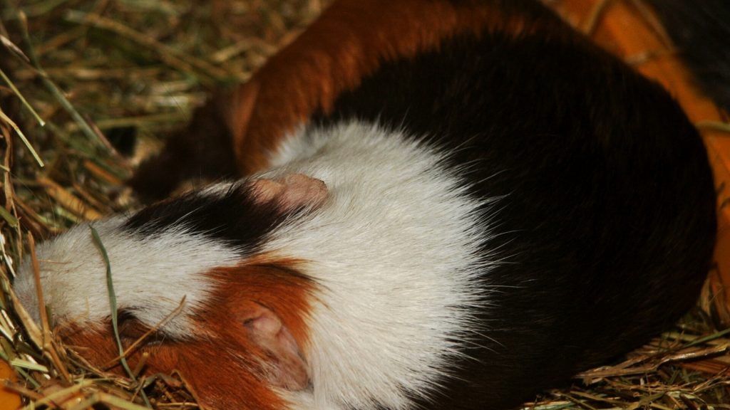 Guinea Pig Dream Stages of Sleep in Guinea Pigs