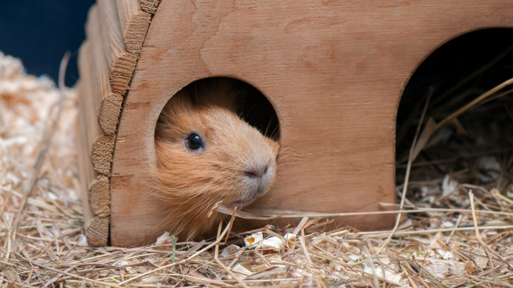 Guinea Pig Hiding All Day Is This Behavior Normal