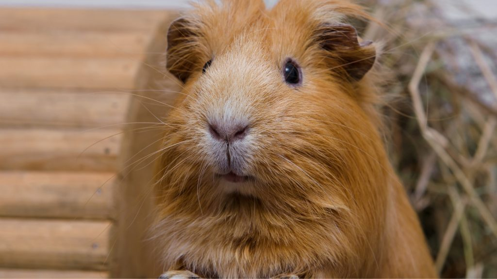 Guinea Pig Training How Trainable Are Guinea Pigs