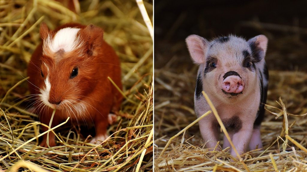 Guinea Pigs and Real Pigs Similarities and Differences