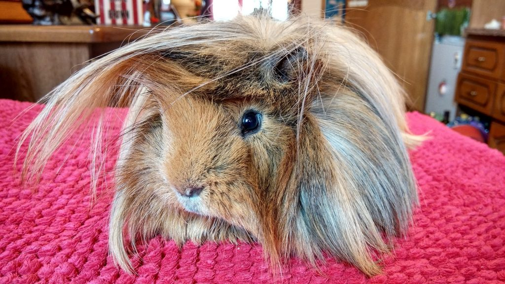 Hair Problems Associated With Long Haired Guinea Pigs