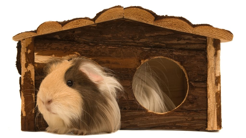Hiding Places for Guinea Pigs Everything You Need to Know