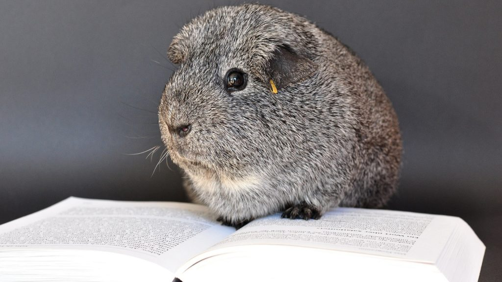How Smart Are Guinea Pigs List of Amazing Facts