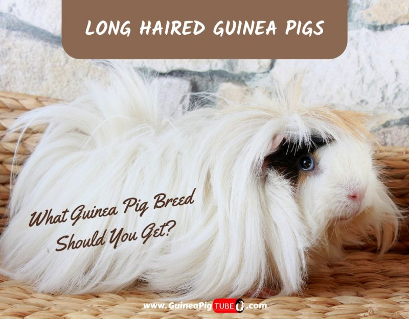 Long Haired Guinea Pigs - What Guinea Pig Breed Should I Get
