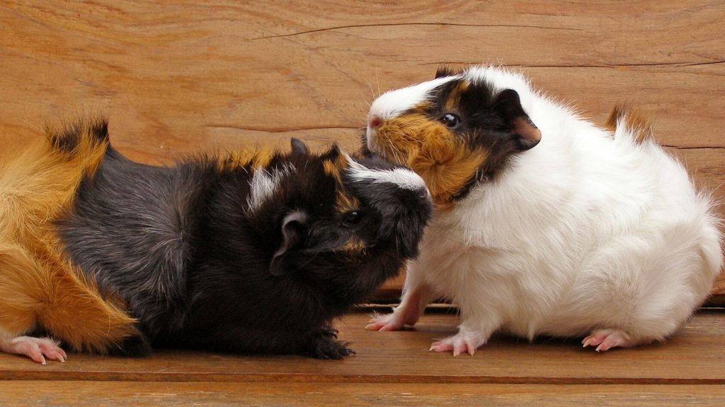 Low Levels of Social Aggression in Guinea pigs