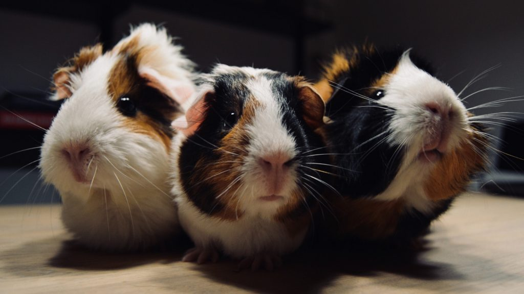 Reasons Why Guinea Pigs Are Socially Active Animals