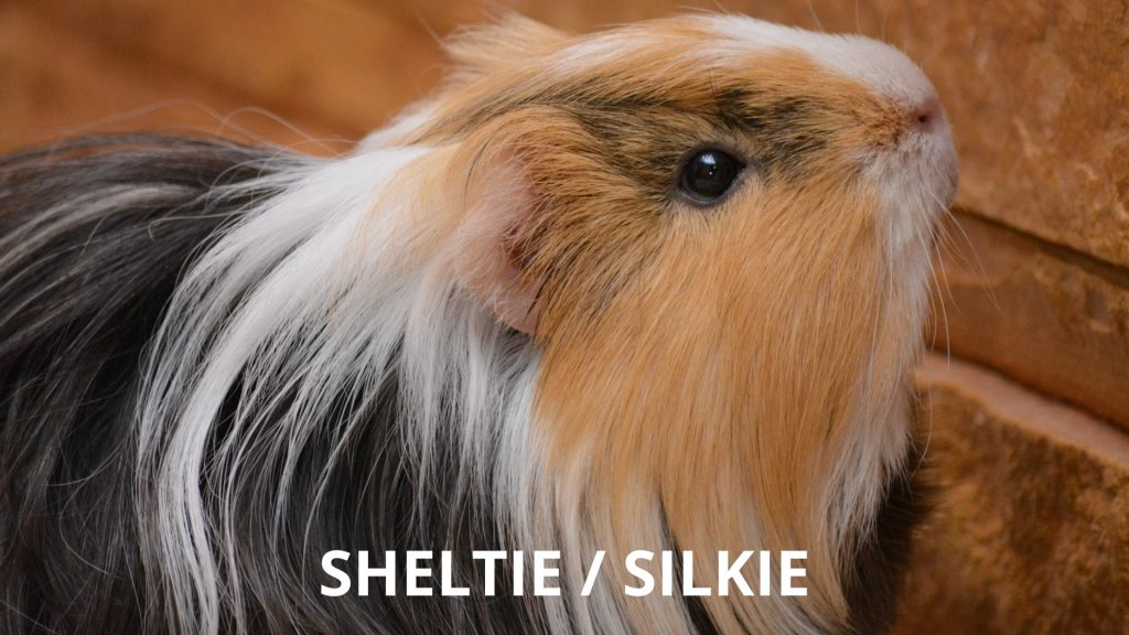 Sheltie - Silkie Long Haired Guinea Pig