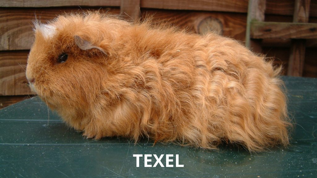 Texel Long Haired Guinea Pig