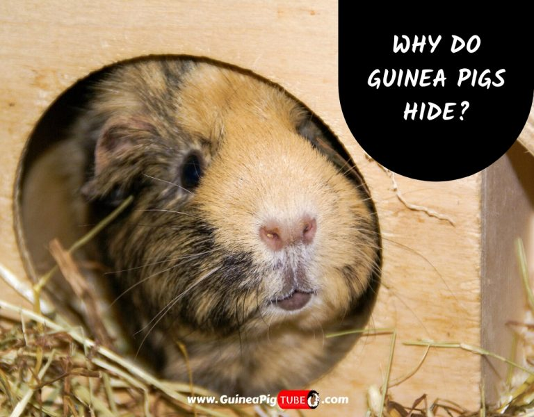 Why Do Guinea Pigs Hide