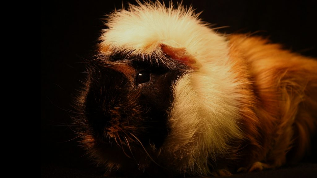 Are Guinea Pigs Nocturnal Animals
