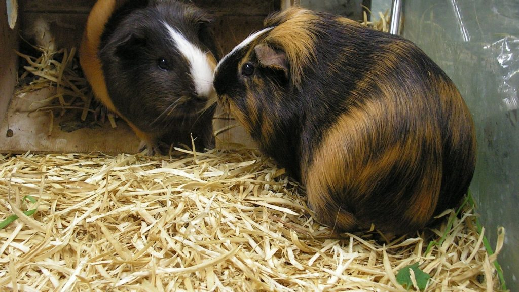 Basic Bedding to Make for Your Guinea Pig at Home