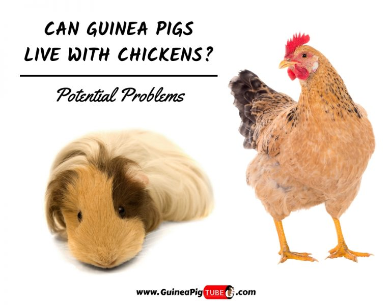 Can Guinea Pigs Live With Chickens