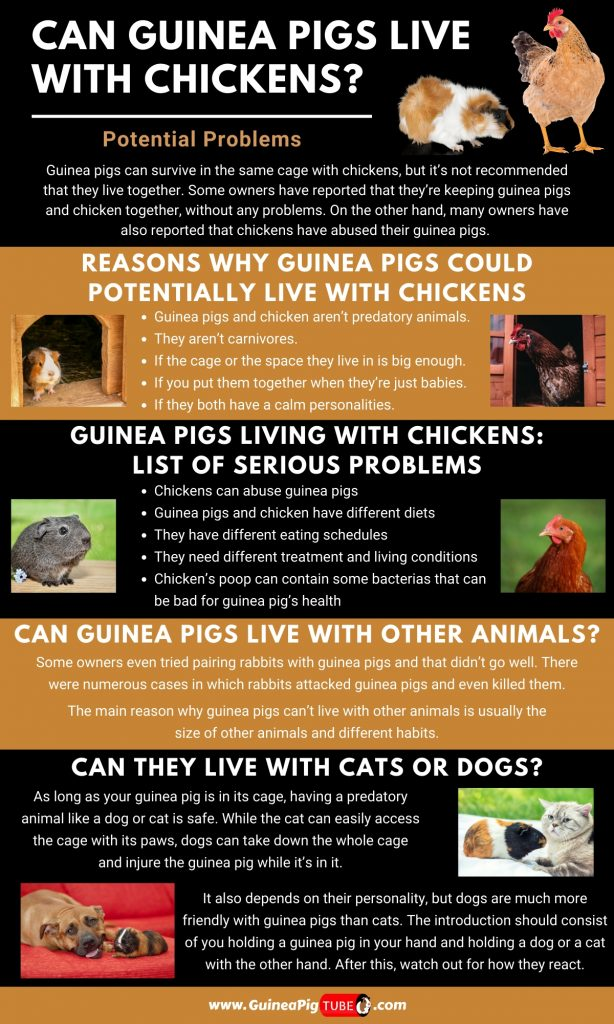 Can Guinea Pigs Live With Chickens_1