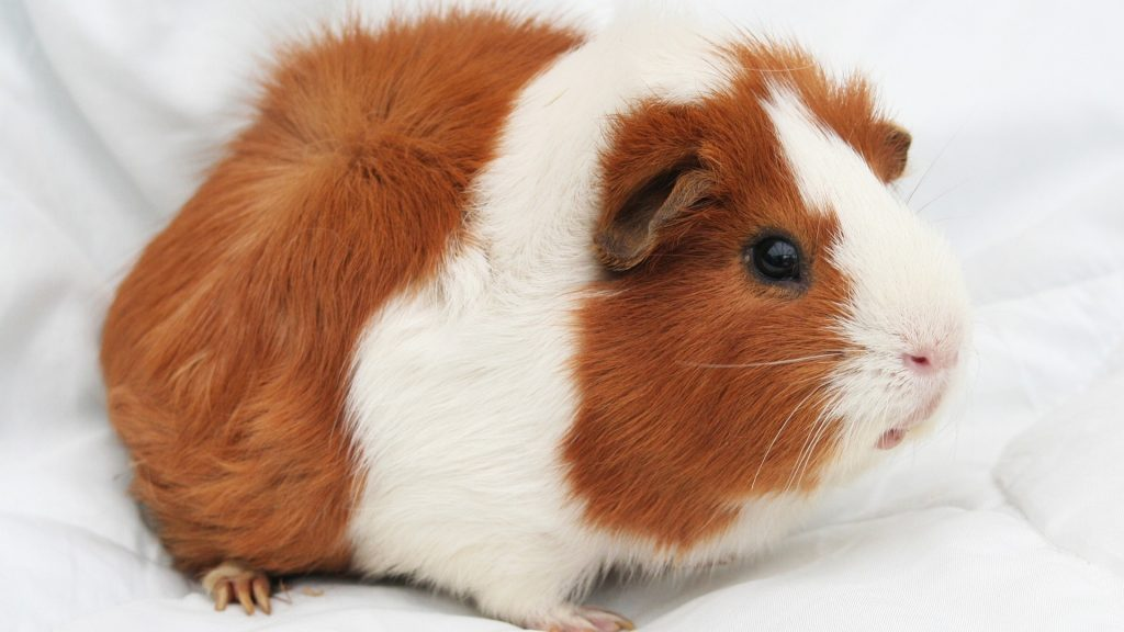 Fleece Bedding for Guinea Pigs Step by Step Instructions