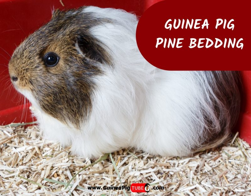 Can Guinea Pigs Use Pine Bedding, Can I Use Pine Shavings For Guinea Pig Bedding