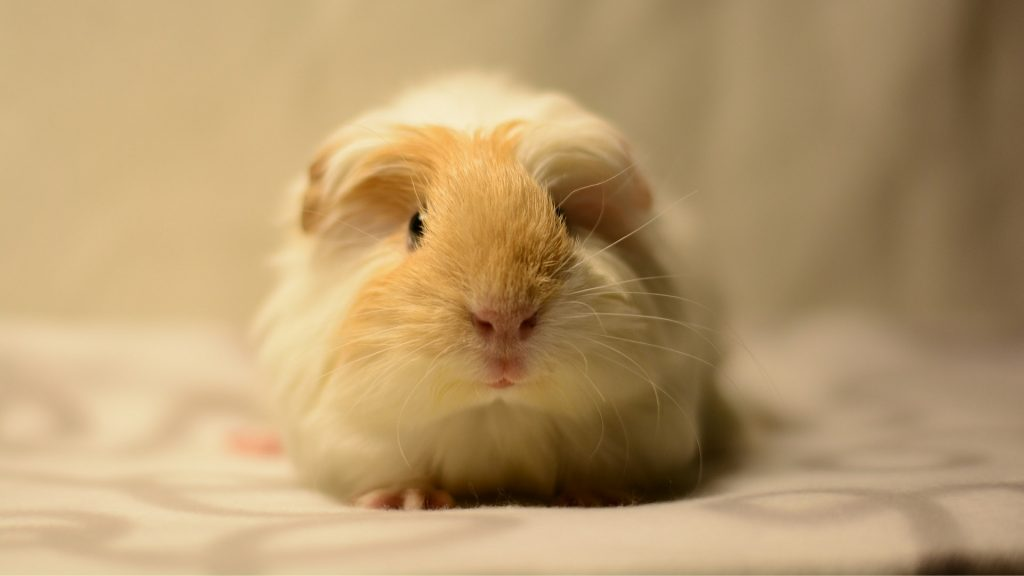 Guinea Pig's Fleece Bedding Is It a Good Choice for Every Owner