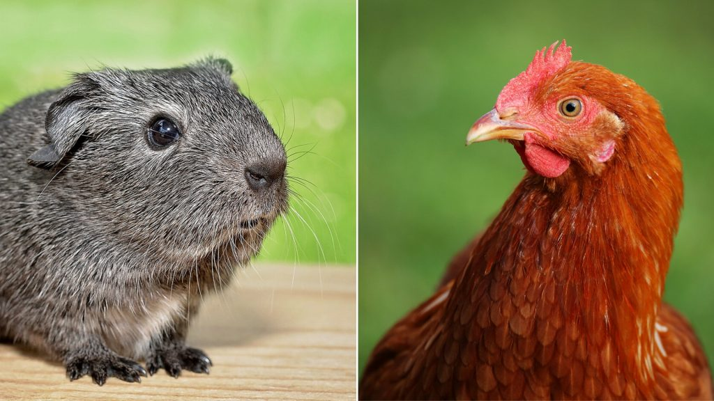 Guinea Pigs Living With Chickens List of Serious Problems