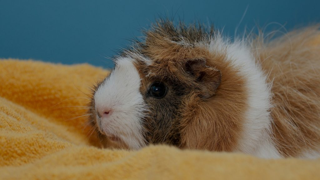 How to Put a Guinea Pig to Sleep at Home Instructions
