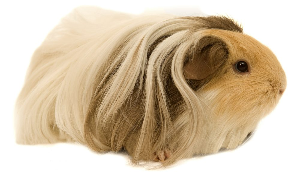 Long Haired Guinea Pig Breeds