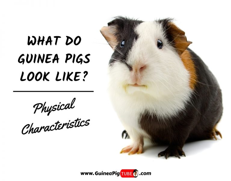 What Do Guinea Pigs Look Like_