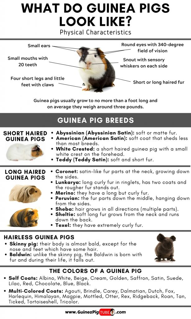 What Do Guinea Pigs Look Like_1