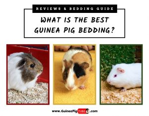What Is the Best Guinea Pig Bedding Reviews & Bedding Guide
