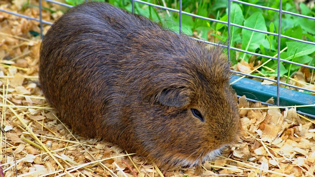 What is Guinea Pig Pine Bedding