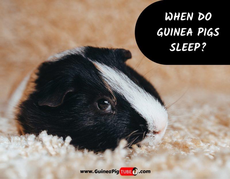 When Do Guinea Pigs Sleep
