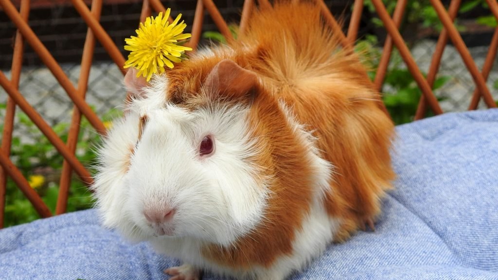 Are Dandelions Good for Guinea Pigs