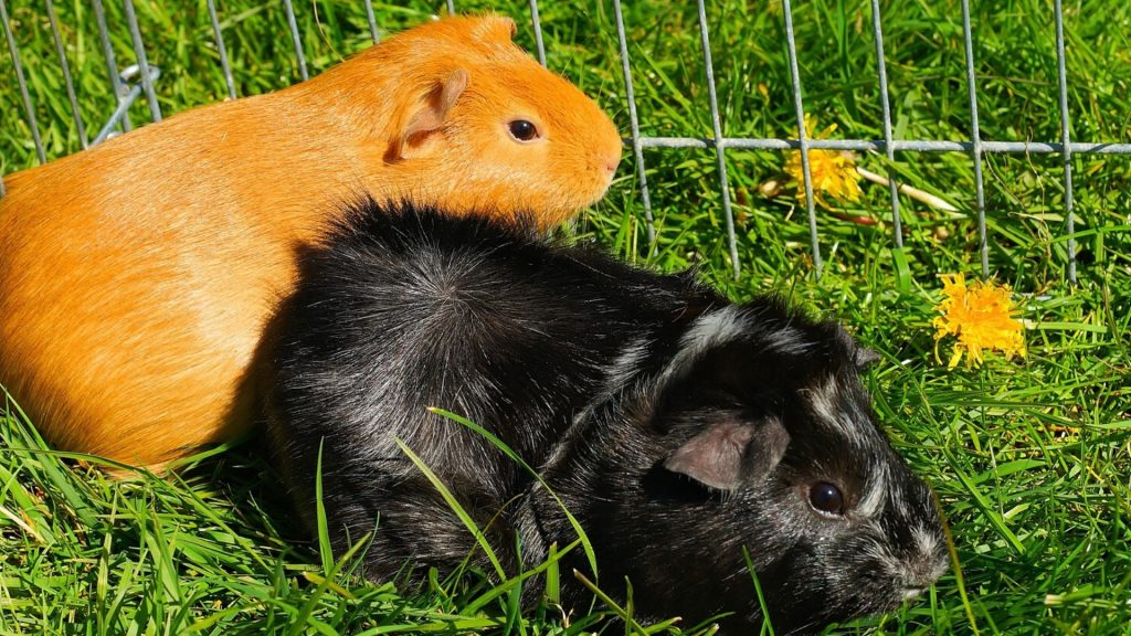 Are Dandelions Poisonous to Guinea Pigs