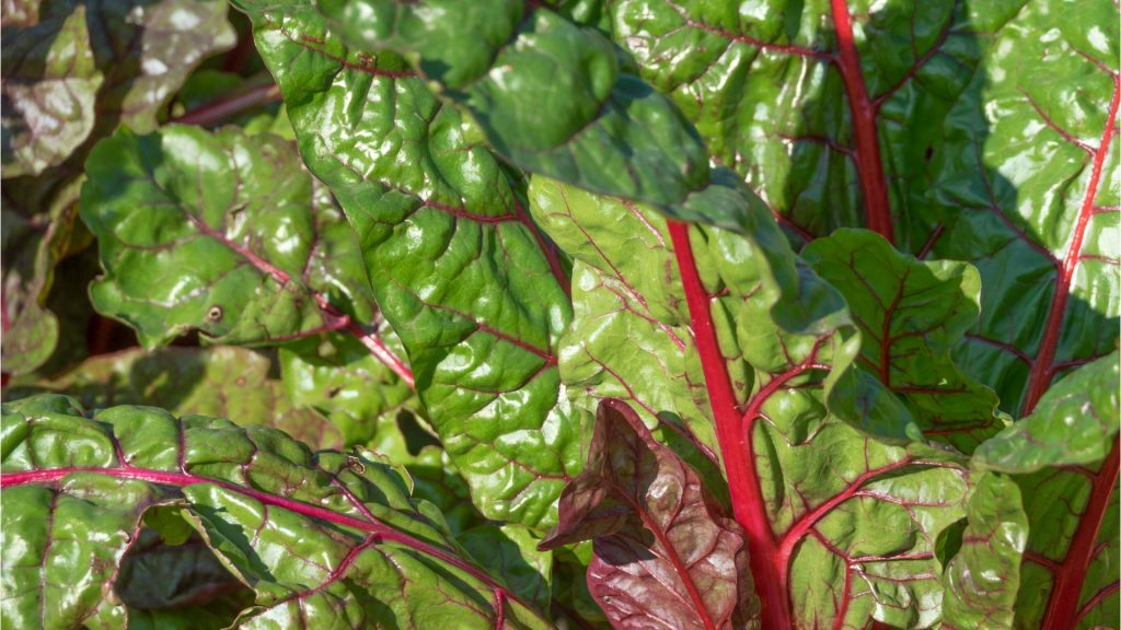 Beet Green Leaves