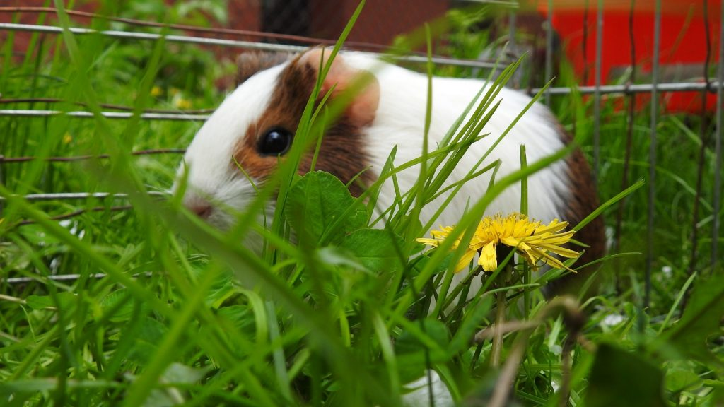 Can Guinea Pigs Eat Dandelion Greens Dandelion Leaves