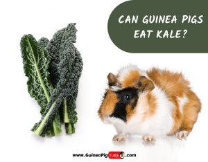 Can Guinea Pigs Eat Kale_