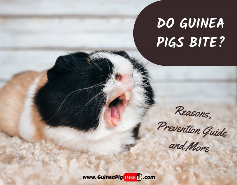 Do Guinea Pigs Bite_