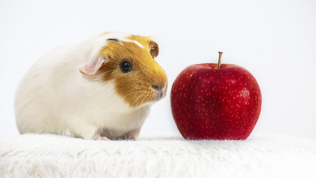 Fresh Fruits for guinea pigs