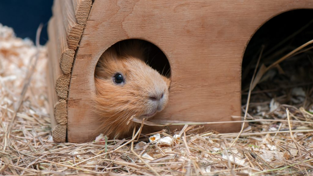 Guinea Pigs Are Sometimes Not That Social