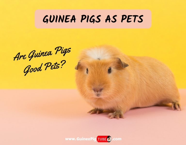 Guinea Pigs As Pets_ Are Guinea Pigs Good Pets_