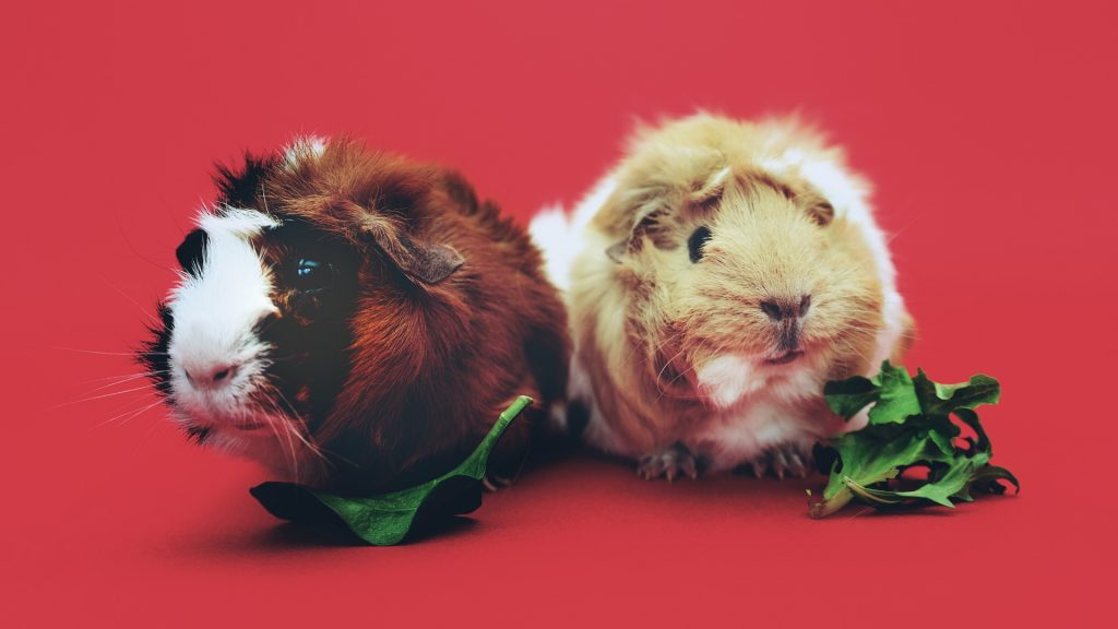 Guinea Pigs Need Lots of Great Food